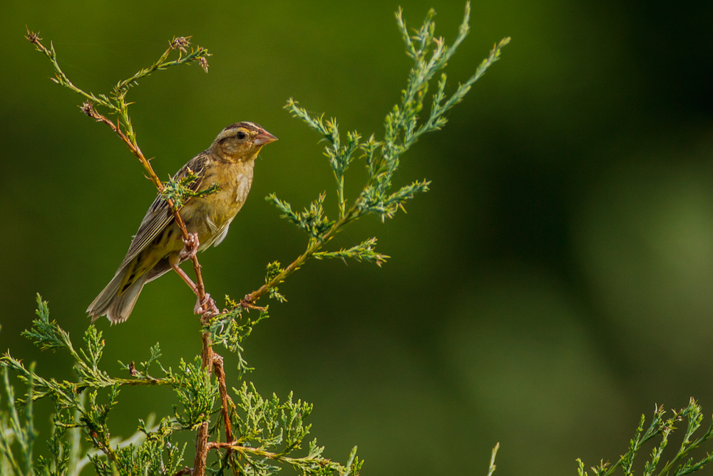bobolink, female, birding, Clarke County, pond, creek,