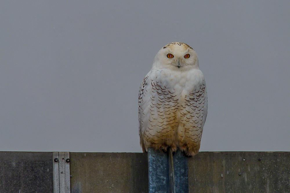 Snowy Owl-A