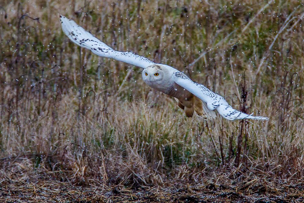 Snowy Owl-B