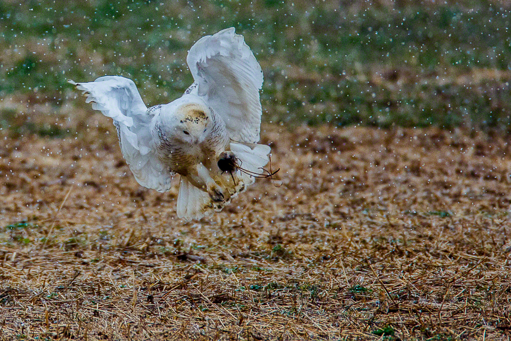 Snowy Owl-C