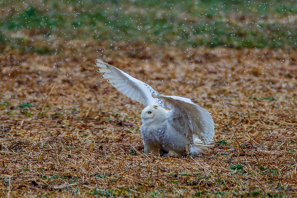 Snowy Owl-D