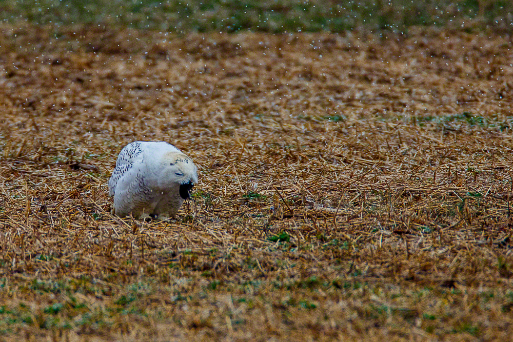 Snowy Owl-E