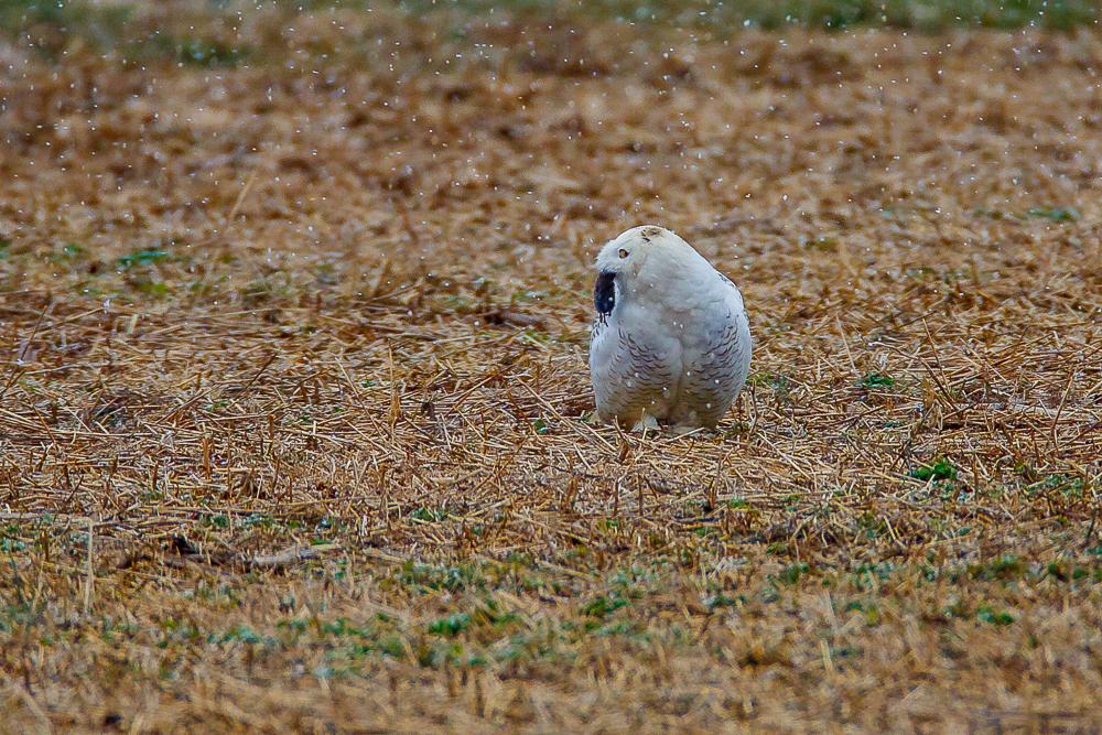 Snowy Owl-F