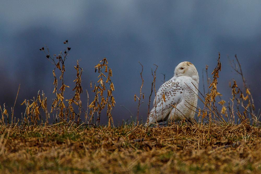 Snowy Owl-I