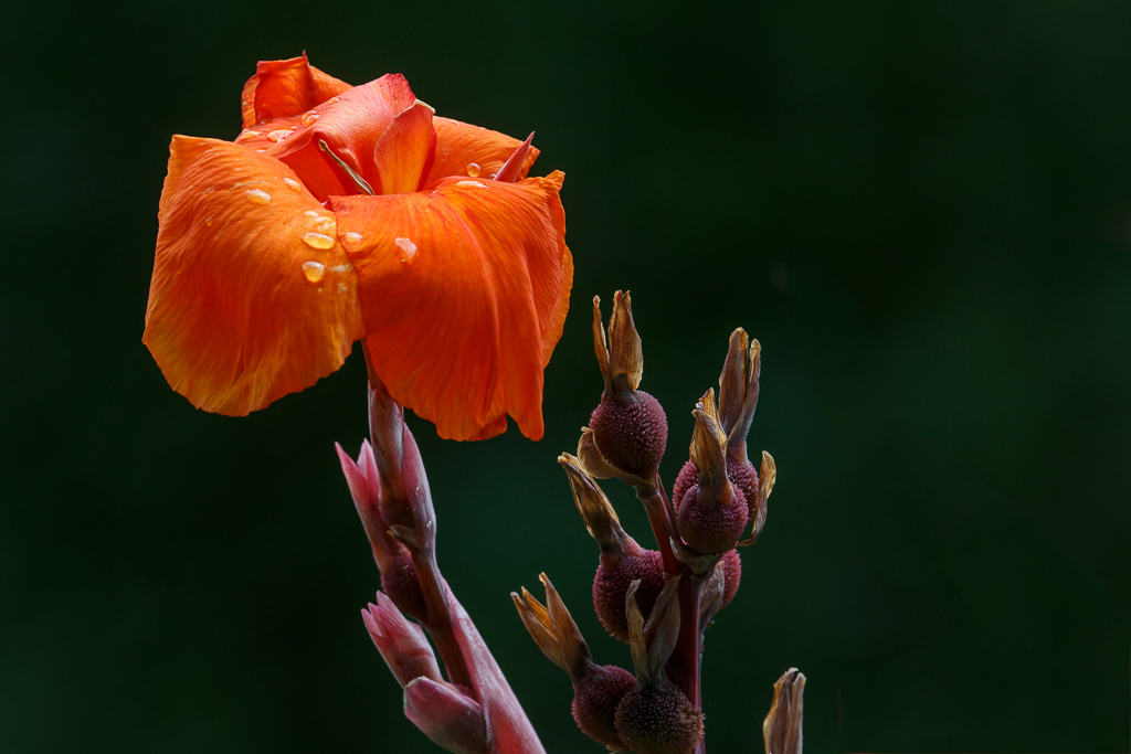 flower, water drops, park, Kenilworth, rain,