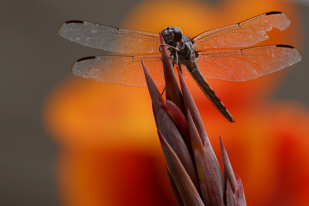 dragonfly, lily, Kenilworth Gardens,