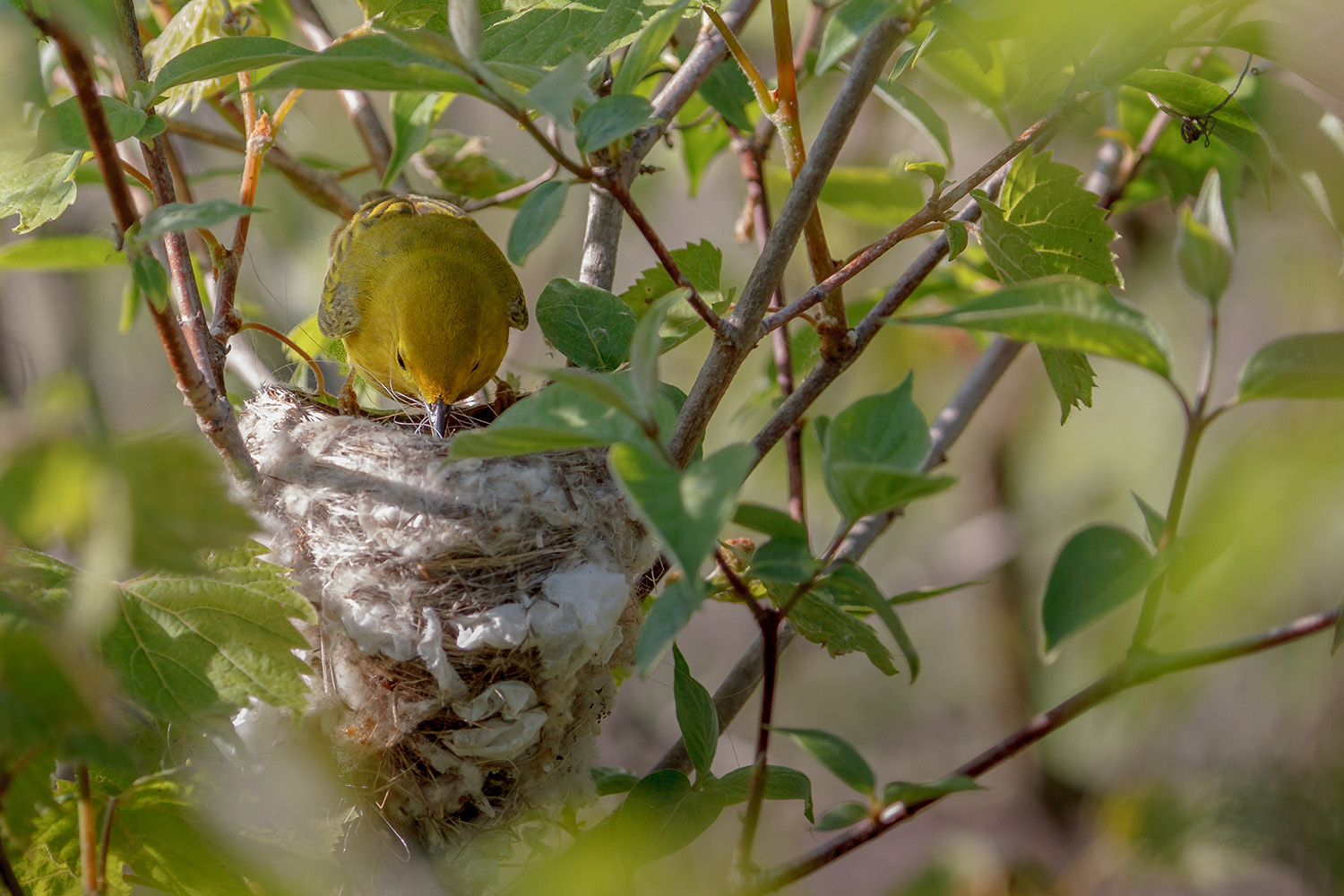 Yellow Warbler building a nest