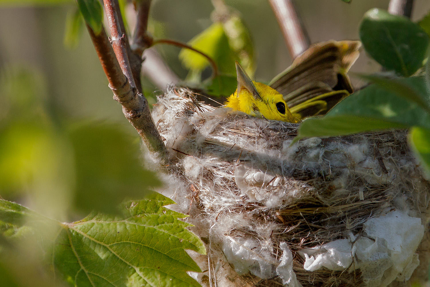 warbler, Yellow, nest, Magee Marsh, migration,