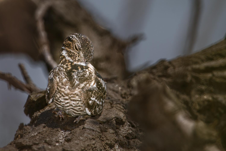 nighthawk, bird, preening, Magee Marsh, boardwalk, Ohio,