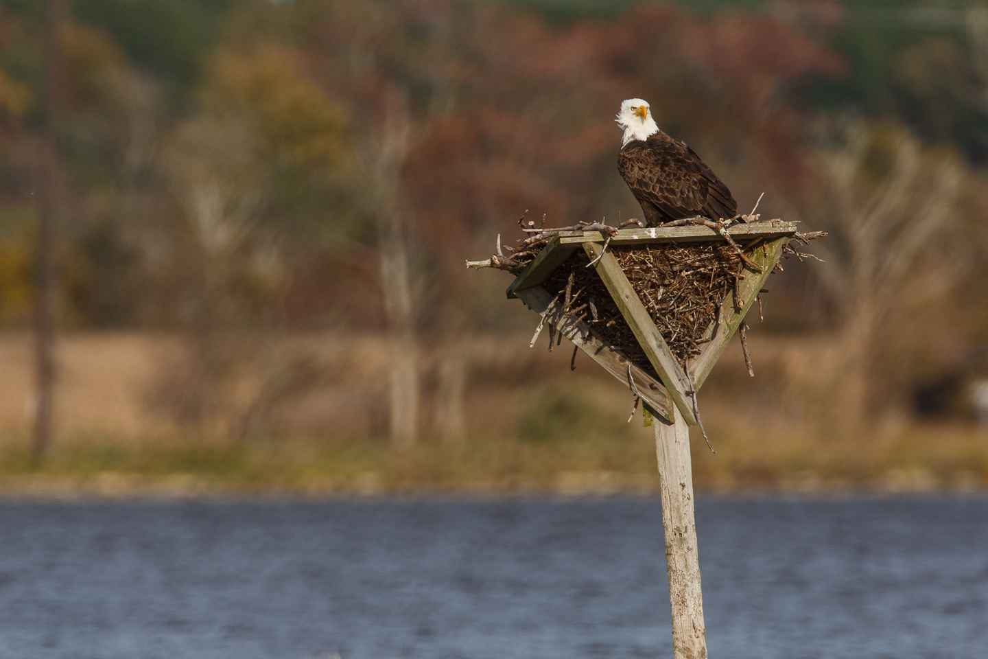 "eagle, bald, Blackwater, NWR, Maryland, resting, ""stealing sticks"", platform,"