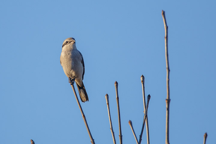 Grey Shrike, Woodlands, Centreville, Virginia, evening, rare, bird, song bird, Northern Shrike,
