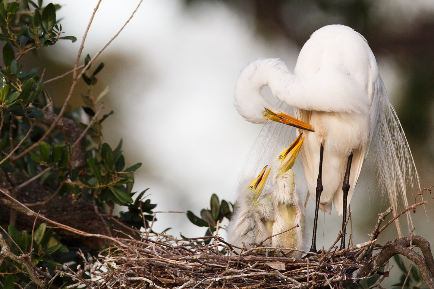 St Augustine, alligator farm, rookery, egret, nest, nestlings, preening, Florida, east coast, breeding season,