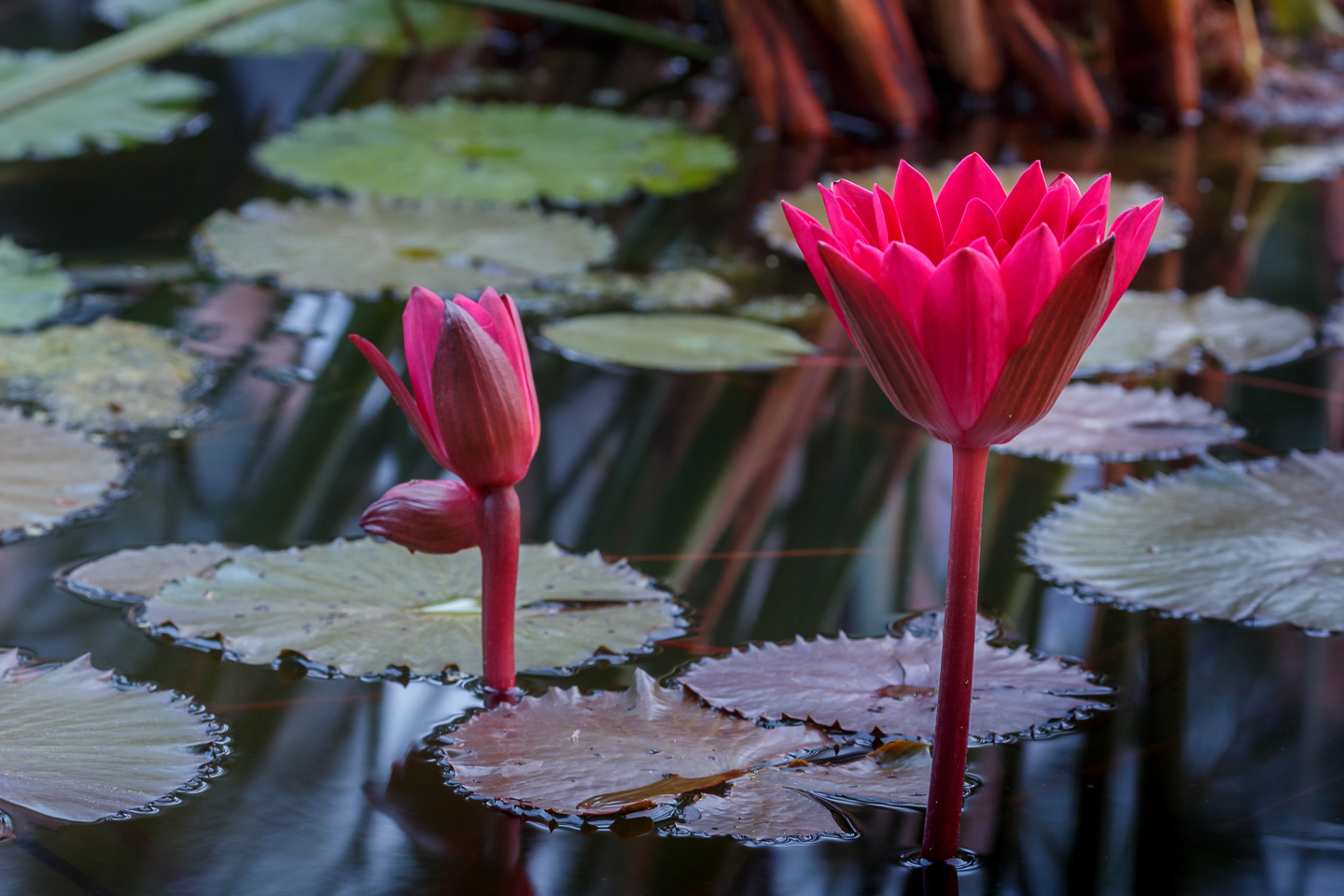 water lily, red, night, dark, Kenilworth, botanic gardens, ponds, summer, National Park, festival,