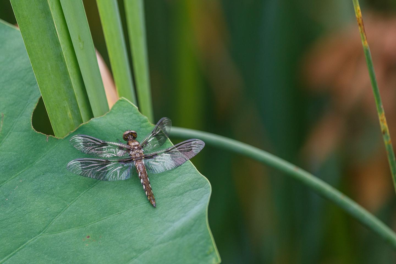 dragonfly, park, Kenilworth, festival, rain, Washington, DC,