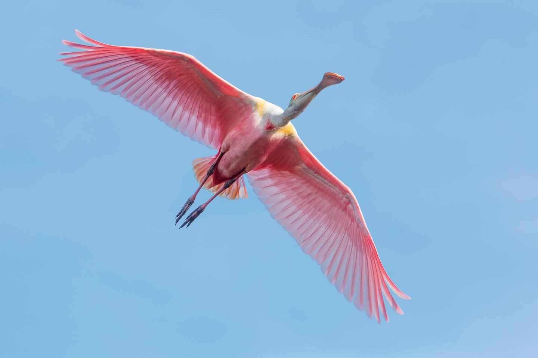 Spoonbill, bird, soaring, rookery, pink, spring,