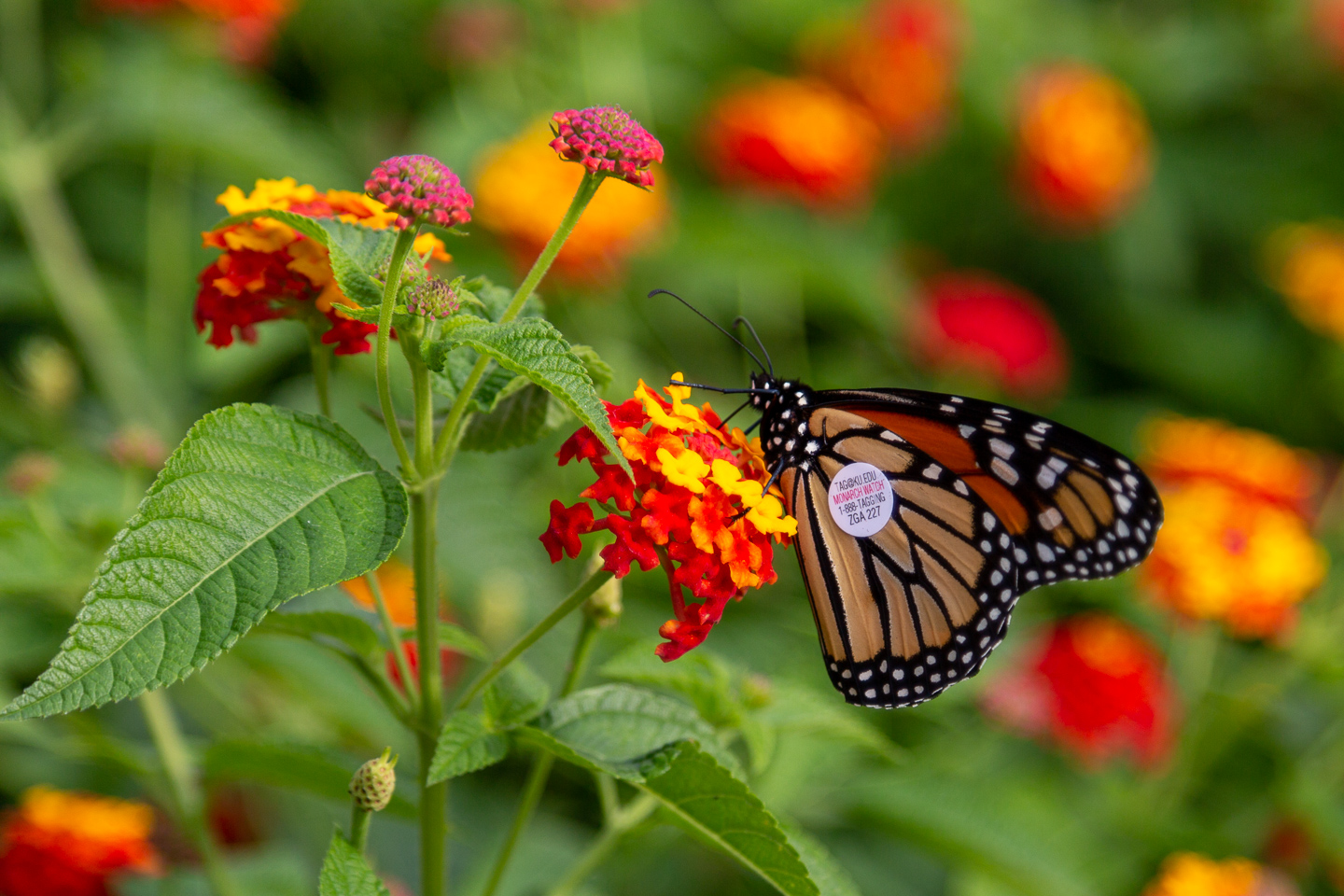 monarch, butterfly, migration, tag,