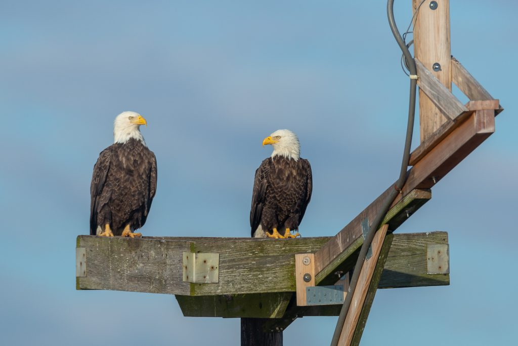 Eagles on an Osprey platform
